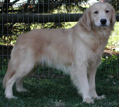 golden retriever colors light golden the gallery for gt amalebe amakhulu