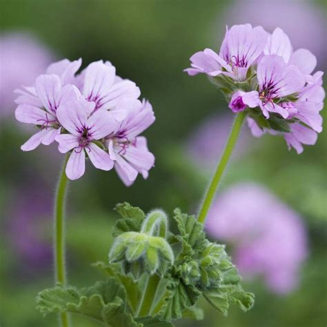 best scented geranium 209 best images about fragrant plant on white flowers hoya plants and shrubs