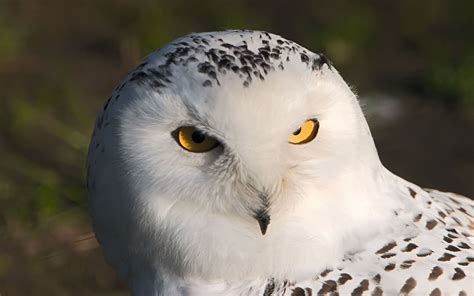 white owl hd wallpaper animals wallpapers