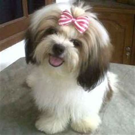 taking my shih tzu on a plane 1000 images about so much shih tzus on shih tzu shih tzu puppy and
