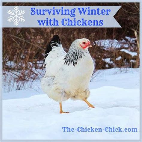 Backyard Chickens Weather 25 Best Ideas About Cold Temperature On
