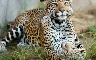 Jaguars Cubs Jaguar Play Spots Pattern Cubs Wallpaper