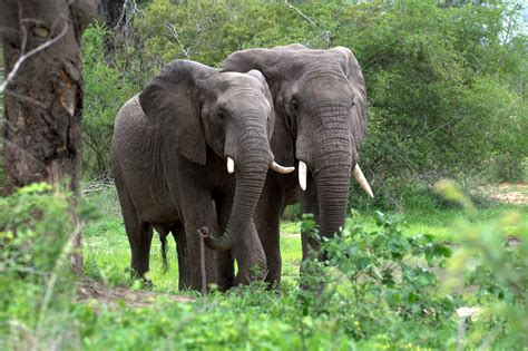 african elephant facts african forest elephant facts diet behavior lifestyle
