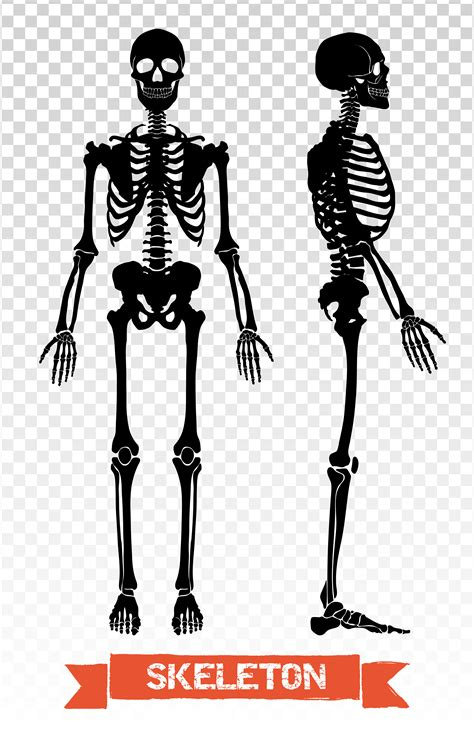human skeleton transparent set   vectors