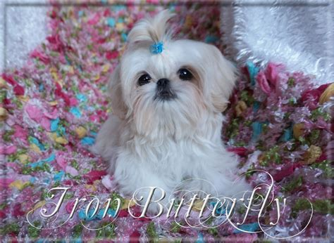 teacup shih tzu grown size iron butterfly imperial shih tzu tiny teacup puppies for sale quality small