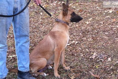 belgian malinois puppies for sale near me lines for or sport belgian malinois puppy for sale near rock