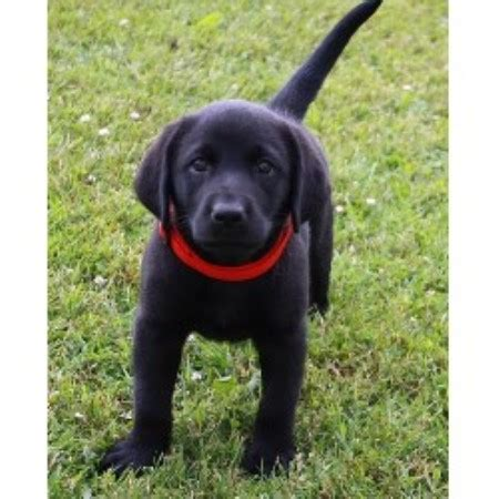black lab puppies for free labrador retriever lab dogs and puppies for sale in virginia free breeds picture