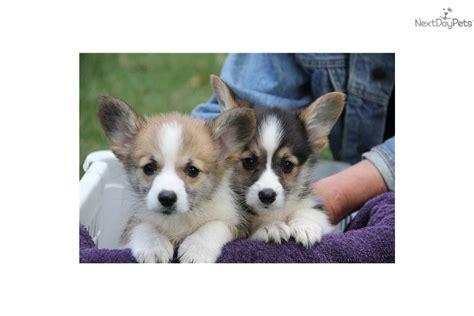 corgi puppies michigan corgi pembroke puppy for sale near michigan d671f2ac 2831