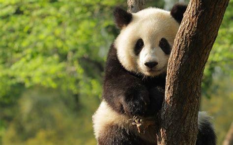 Tas E M O R Y Crocus 2in1 191 qu 233 comen los osos pandas 187 respuestas tips