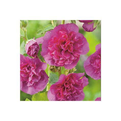 Vivaces Fleuries Tout L été by Tr 233 Miere Violette En Lot De 3 Godets De 7 Cm