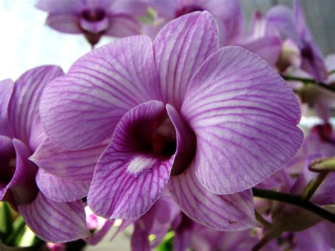 orchid colors purple ferrebeekeeper