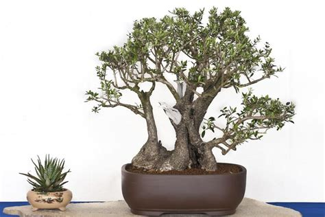 bonsai da appartamento bonsai potatura ficus come potare i bonsai