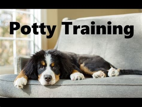how to house train a dog fast how to potty train a bernese mountain dog puppy house training bernese mountain dog