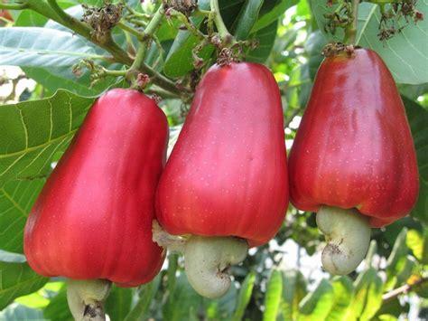 fruit of the tree philippine fruits seongyosa