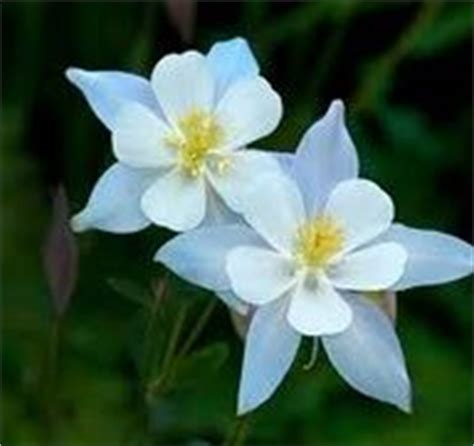 1000 images about columbine on pinterest columbine flower perennials and texas gold