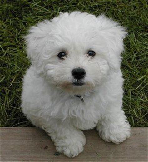 miniature bichon frise puppies for sale miniature poodle x bichon frise puppies manchester greater manchester pets4homes