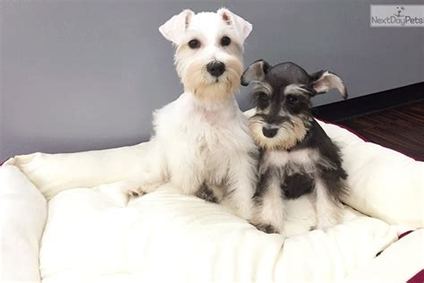 schnauzer puppies for adoption schnauzer miniature meet miniature schnauzer a puppy for