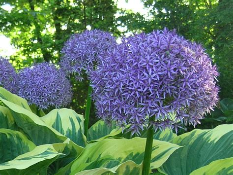 companion planting bulbs with perennials