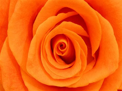 color roses color orange roses orange by the bunch
