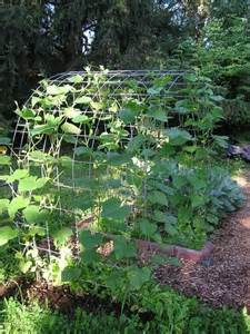 how to grow cucumbers on a trellis cucumber trellis pics vegetable gardening forum