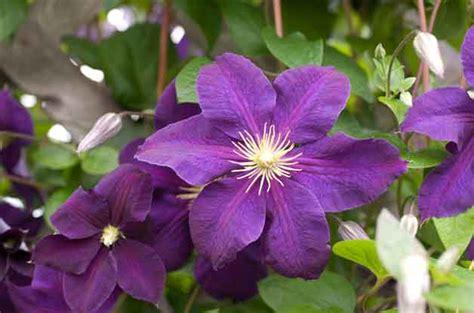 climbing flowers fast growing vines flower garden