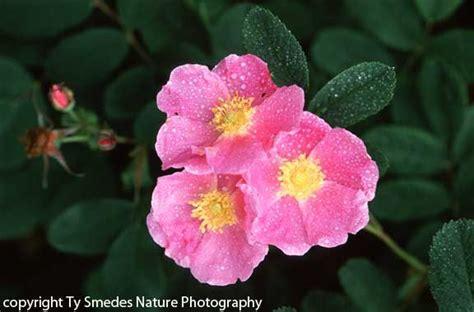 iowa s state flower iowa pinterest iowa s state flower the wild rose state of iowa usa