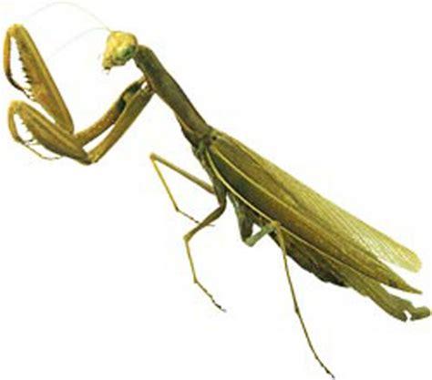 when killing a praying mantis goes wrong real wrong