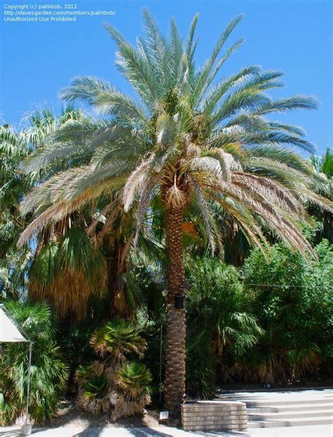 Palm Desert Botanical Gardens Plantfiles Pictures Haziz Date Palm Haziz Dactylifera By Palmbob