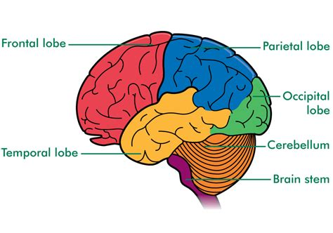 brain diagram lobes nervous system kaito s