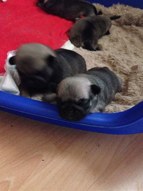 pug breeders glasgow faun pug puppies for sale glasgow lanarkshire pets4homes