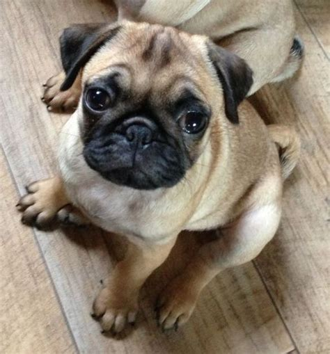 apricot pugs kc reg stunning apricot pug puppy middlesbrough pets4homes