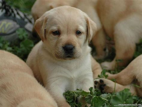 hd cute puppy wallpaper free download jpg desktop background cute labrador retriever puppies wallpapers hd free