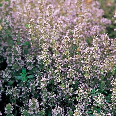 common house plant seeds buy thyme organic seeds thymus vulgaris thymus