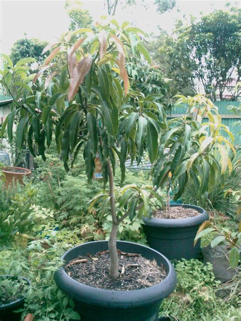 Spray Fruit Trees Spring - my edible fruit trees mango trees qld