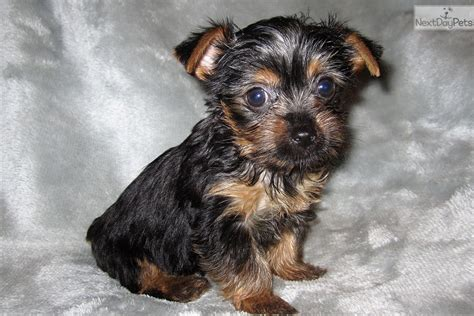 teacup yorkie for sale in st louis mo terrier yorkie puppy for sale near st louis missouri 82c3c919 82d1