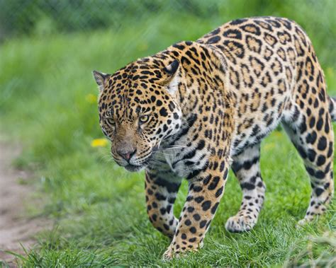 imagenes 4k wallpaper animales napo walking a picture of the sweet young male jaguar