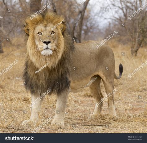 Address Search South Africa Panthera Leo South Africa Stock Photo 96744721