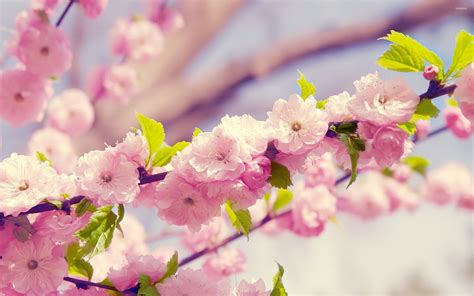 flower blossom wallpaper cherry blossoms wallpaper flower wallpapers 21621