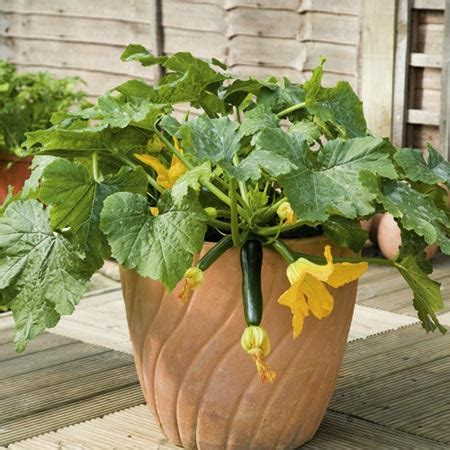 NurseryLive   grow vegetables online at Nursery Live