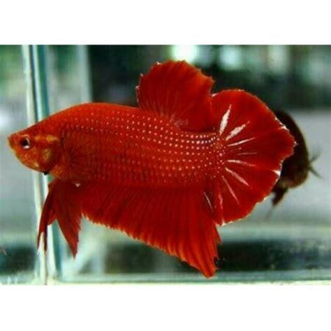 ikan cupang giant raksasa red dragon import super bangkok