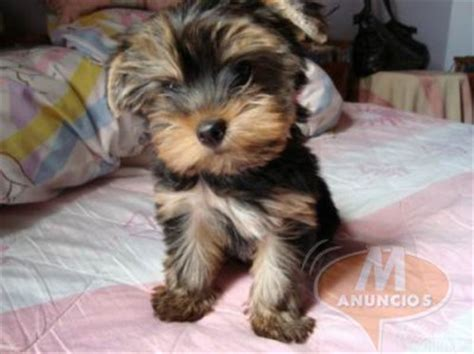 yorkie terrier mini en adopcion cachorro de terrier mini valencia 28200564