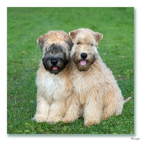 akcwheaton cut 525 best images about irish soft coated wheaten terrier on