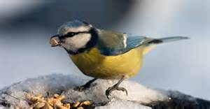breuillet nature les oiseaux en hiver