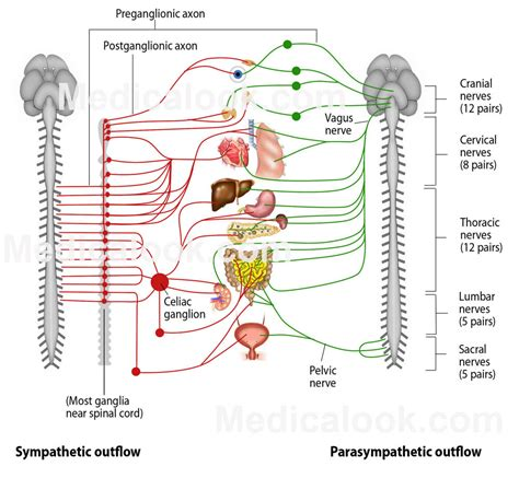 diagram of autonomic nervous system autonomic nervous system labels 6 nervous system