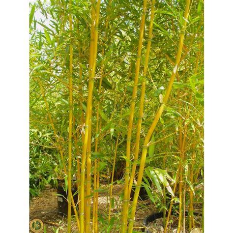 Outdoor Living by Phyllostachys Aurea Fishpole Bamboo The Pot Amp Grass