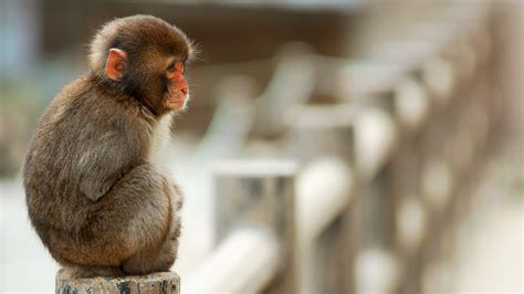Monkey Wallpaper by Monkey Wallpapers Hd Pictures One Hd Wallpaper Pictures