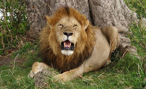 imagenes de leones sobre magallanes curiosidades sobre los leones animales curiosos