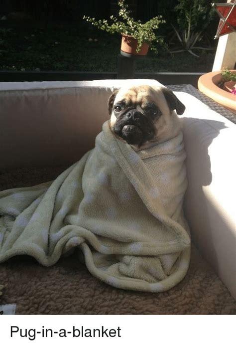 pugs in maine as pug in a blanket meme on me me