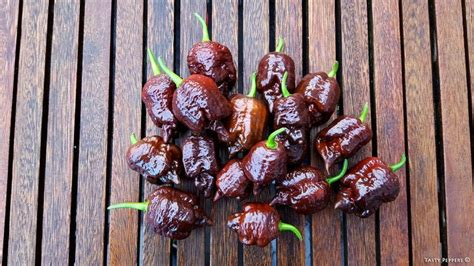 Benih Seed Biji Borg 9 Choco ubsc chocolate also known as unknown brain strain cross the chocolate originated from an