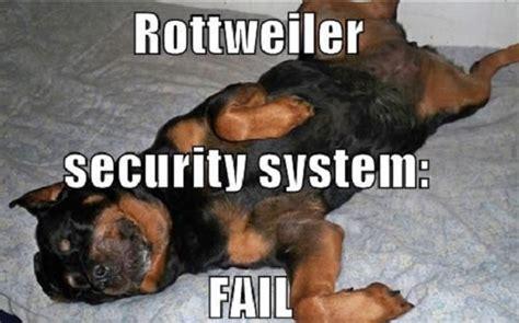 rottweiler memes the 12 most awkward rottweiler sleeping